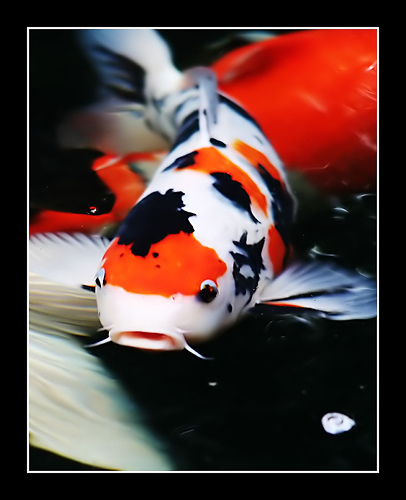 Koi fish a pet of peace living years pets blog for Live koi fish