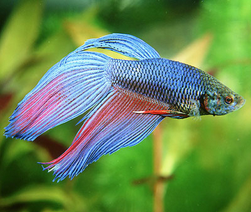 ... too boring? Here are 6 top tips for keeping Siamese fighting fish