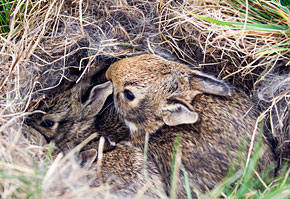 how to raise a wild baby bunny